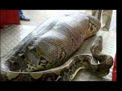 Anacondas Eating People
