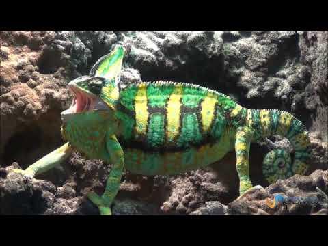 El camaleón del Yemen- Consejos básicos