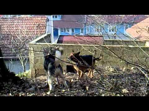 Sibirski haski i Njemački ovčar