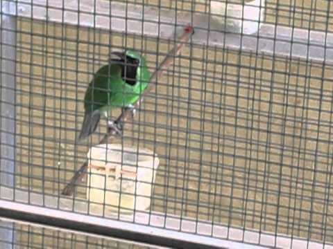 Burung Cucak Ijo Istimewa 50jt video
