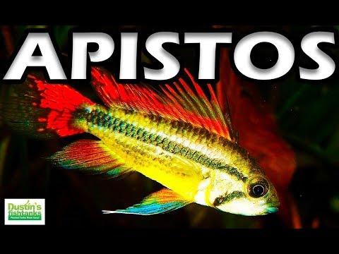 Planted Tank Fish- Apistos, Species Sunday - Apistogramma