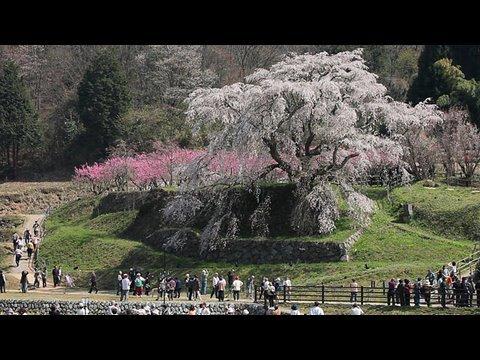 又兵衛桜 Nara Cherry tree by EOS 5D Mark II