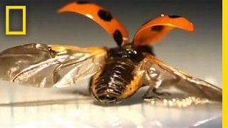 First-Ever Look at the Intricate Way Ladybugs Fold Their Wings | National Geographic