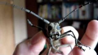 Chirping Longhorn Beetle
