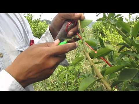 การขยายพันธุ์มะนาวด้วยวิธีการตอนกิ่ง(Lime propagation by air layerin