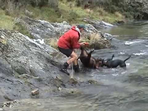 Otago Boar Hunting New Zealand video
