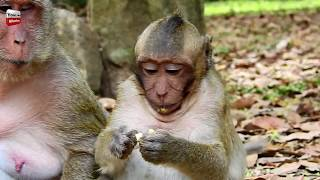 Why Sweetpea Angry Popeye but disturb and Trouble Sahsa with Baby? Youlike Monkey 834