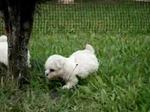 Bichon Frise puppies Video