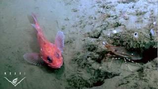 Life on the edge: Is ocean acidification a threat to deep-sea life?