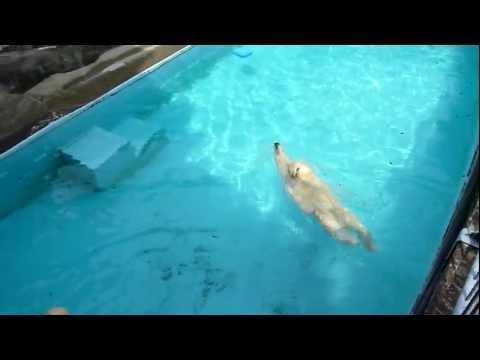 キロルの「潜水と背泳ぎが得意です♪」浜松市動物園 2011.07.30