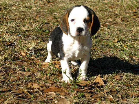 Beagle, Puppies, For, Sale, In, Denver, Colorado, CO, Fort ...