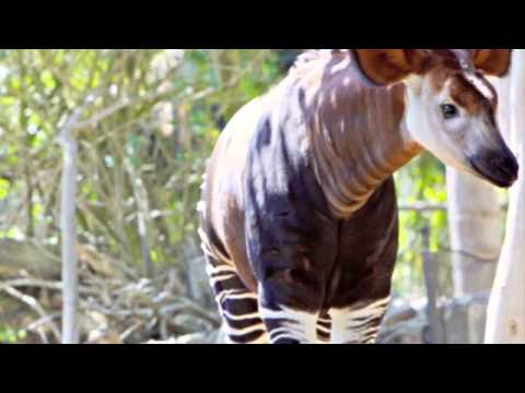 L'Okapi