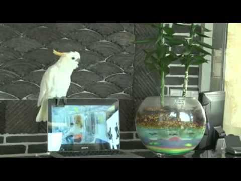 Papagei Singt Opa Gangnam-style video