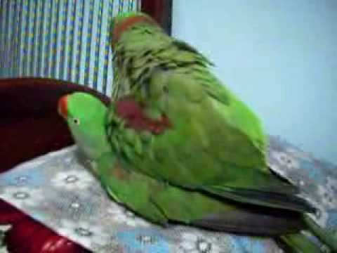 Trained Parrot Blog  Techniques for Putting Parrot Back