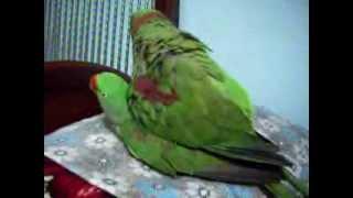 Nadeem Parrot alexandrine parakeet raa tota mating
