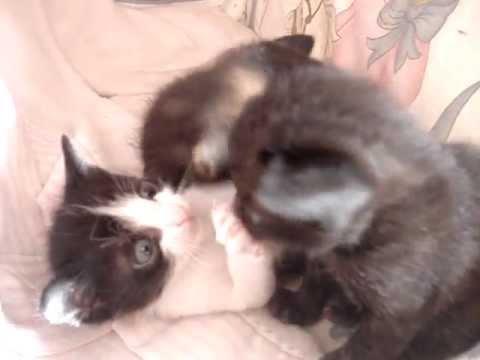 Filhotes De Gato Siames Com Gato Preto