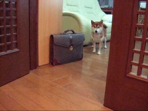 お散歩に行きたくない訳を話す柴犬