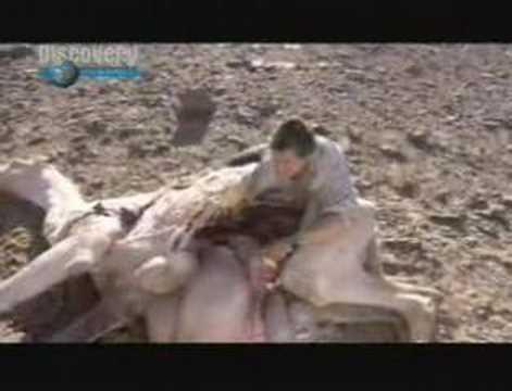 Man vs. Wild - Bear Meets Camel