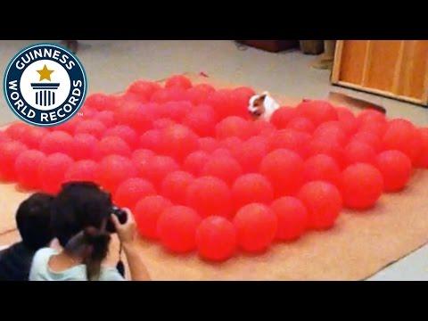 El video de una perrita que entró al Guinnes por reventar 100 globos en menos de 40 segundo