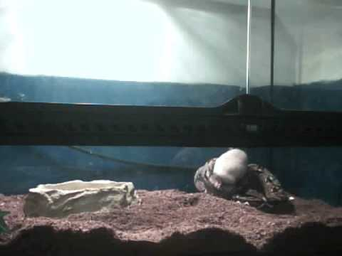 snake feeding adult rat