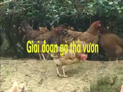Sáng tạo mới trong chăn nuôi gà thả vườn