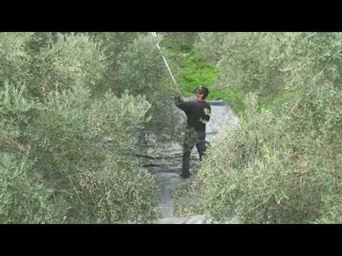 Pellenc olivium