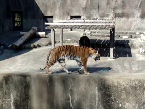 動植物園のトラ