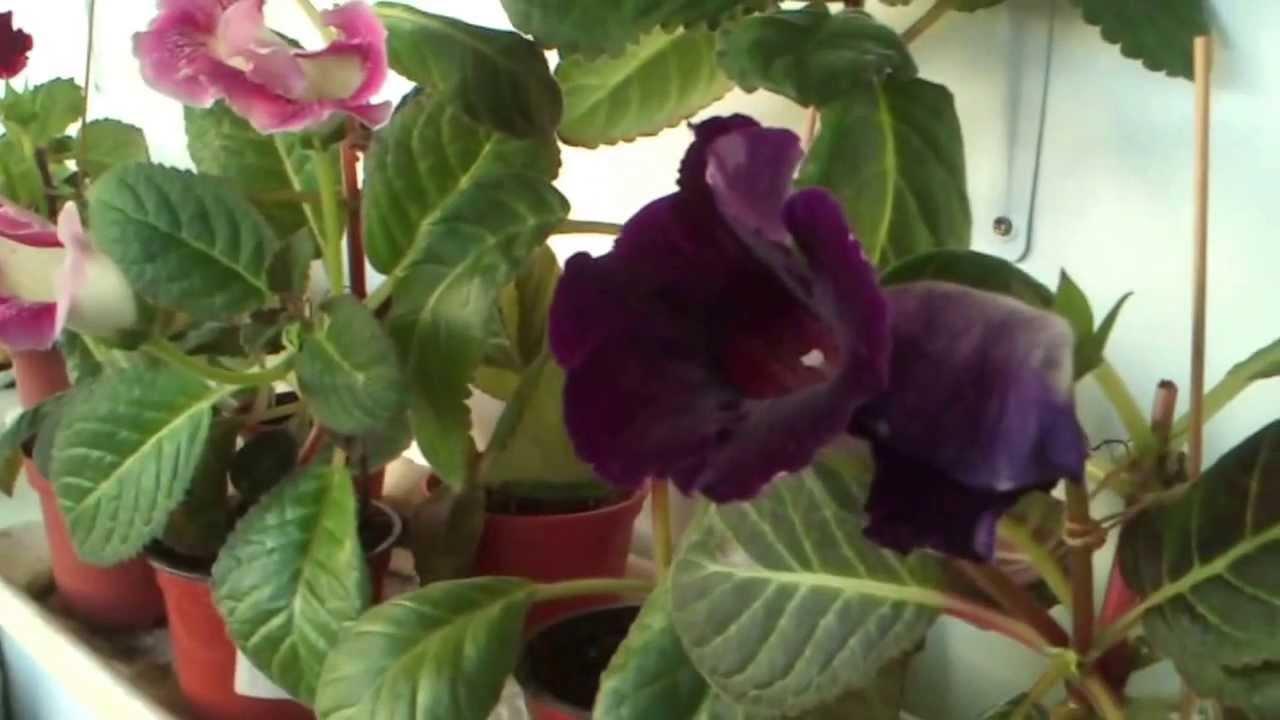 Глоксиния уход в домашних условиях  Начинающему цветоводу