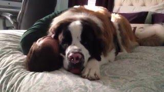 Huge Saint Bernard dog being needy