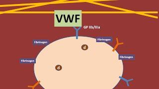 Platelets and Von Willebrand Factor animation
