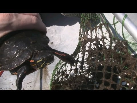 How To Catch And Race Turtles - Wisconsin Garden Update