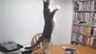 Gato Bailando Elrellano.com