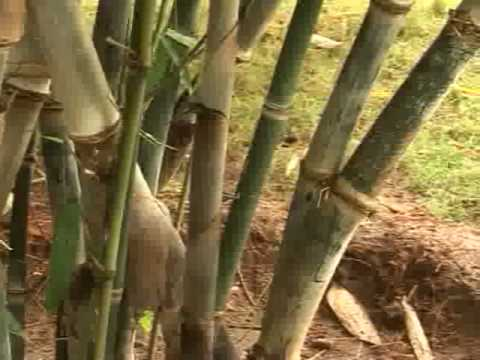 Bamboo propagation: Strengthening the roots.flv
