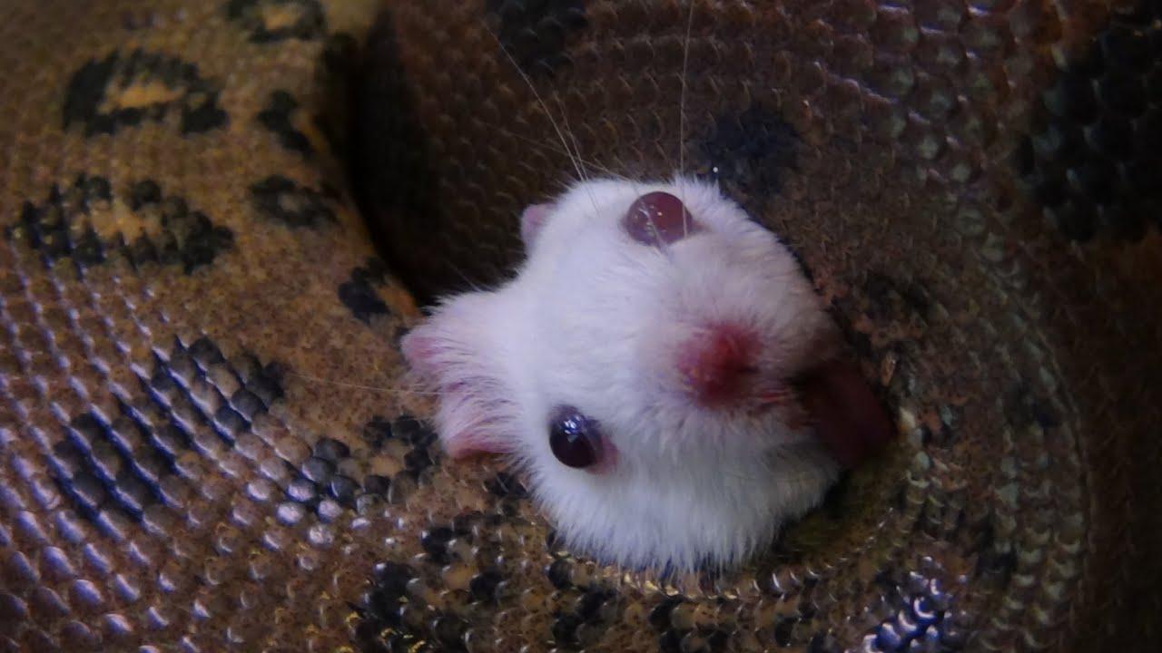 V Mouse Eating Scene Anaconda Destroys Mous...