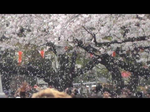 東京・台東区 上野公園の桜吹雪 cherry blossoms blizzard in Ueno Park