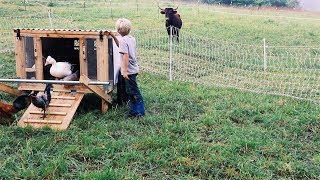Chickens put to work behind Cows on Pasture