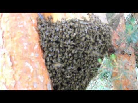 видео не без;  пчелами ловля
