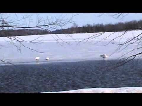 Nancy Today: Successfully reintroduced trumpeter swans in March