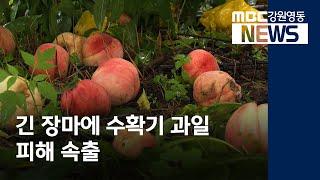 투R]긴 장마에 수확기 과일 피해 속출