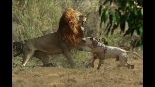 Brave dog Attacks a Lion - Must Watch!!!