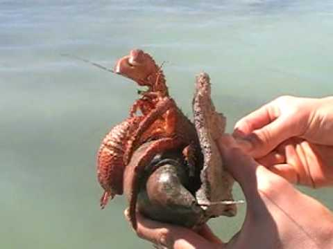 HUGE Hermit Crab