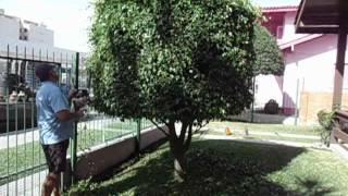 Podando Ficus por Art Natural.AVI
