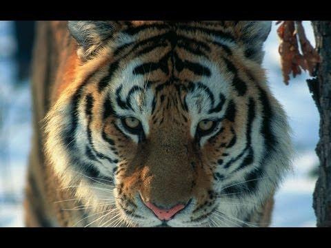 Амурский тигр в третьем тысячелетии