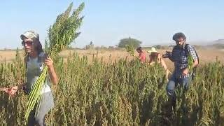 Hemp harvest (August 24)