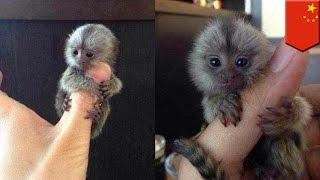 Monyet seukuran jempol sedang digandrungi di kalangan orang kaya Cina - TomoNews