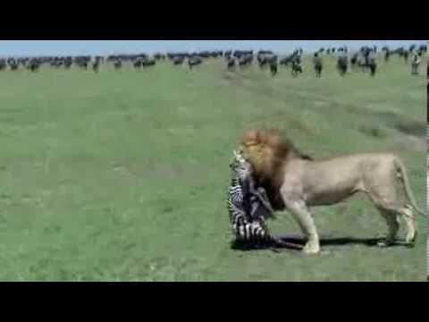 Lion Zebra Baby Lion Eats a New Born Zebra
