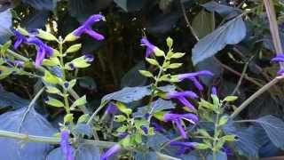 Mexican sage - Salvia Mexicane HD 01