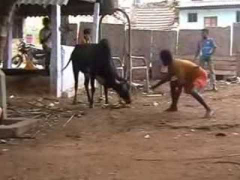 Madurai Preparations For Jallikattu video