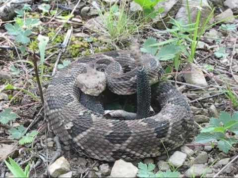 Pit Vipers of Southern Ohio