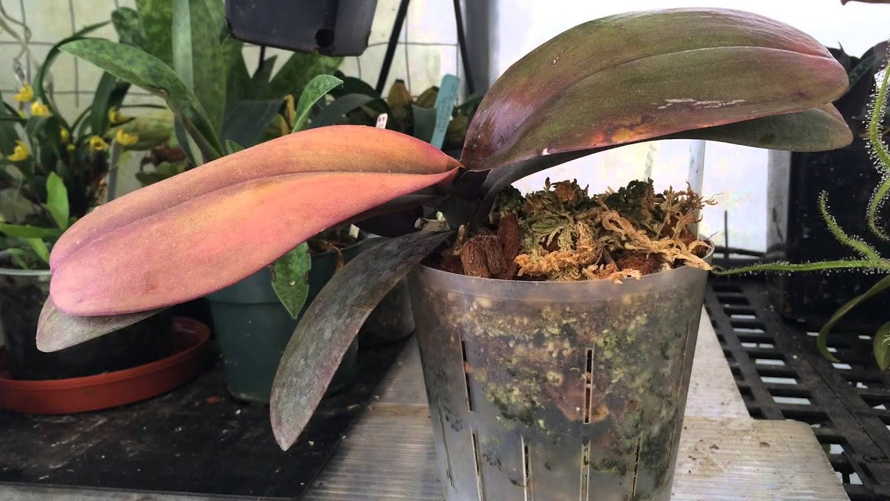 Orchid Problems Phalaenopsis Orchid With Crown Rot Saved